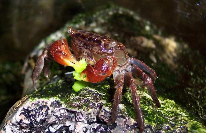 Основу рациона Красного мангрового краба должна составлять пища растительного происхождения