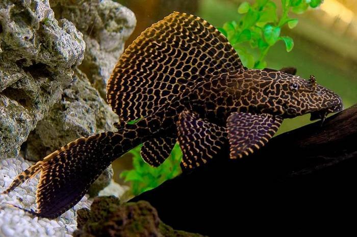 Парчовый глиптоперихт в аквариуме предпочитает находиться в затененных уголках и не выносит яркий свет