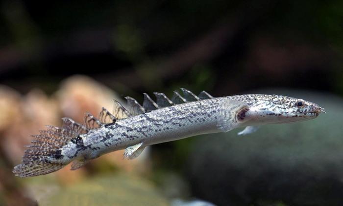 Полиптерус — самый необычный и один из редчайших обитателей аквариума