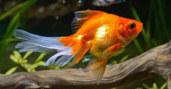 Продолжительность жизни рыбы зависит от множества факторов