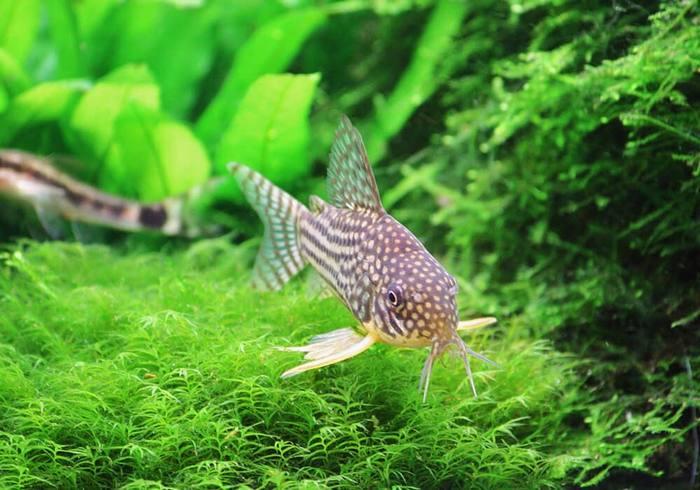 Продолжительность жизни в аквариуме составляет около 5 лет