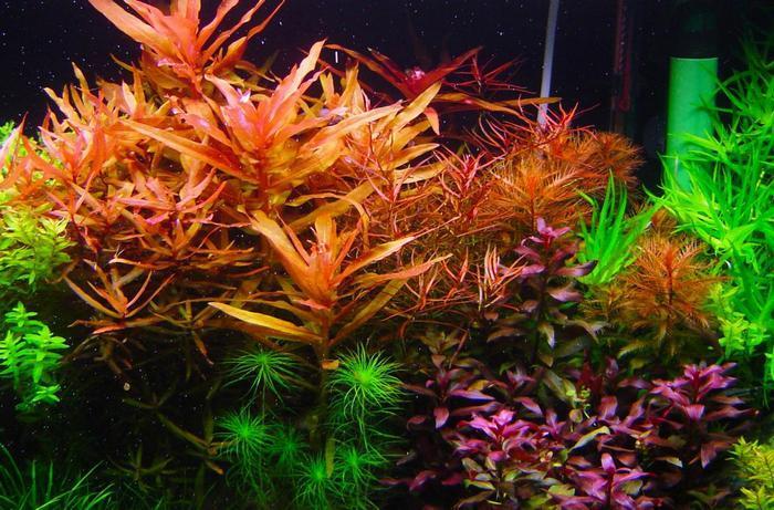 Растение считается одним из наиболее красивых в мире аквариумистики