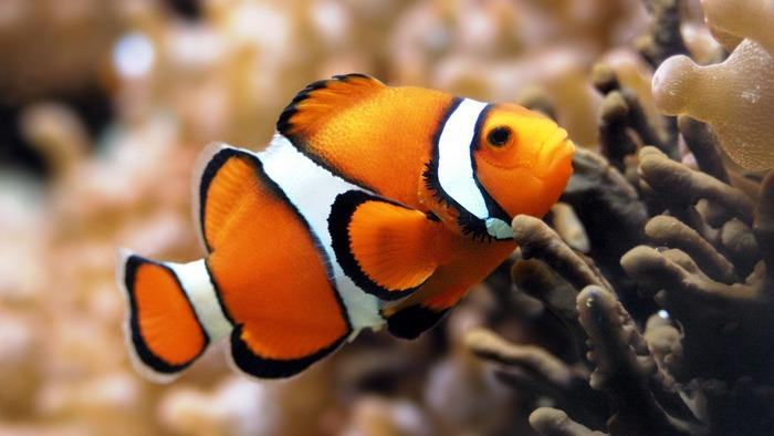 Рыба-клоун получила своё название благодаря оригинальной расцветке