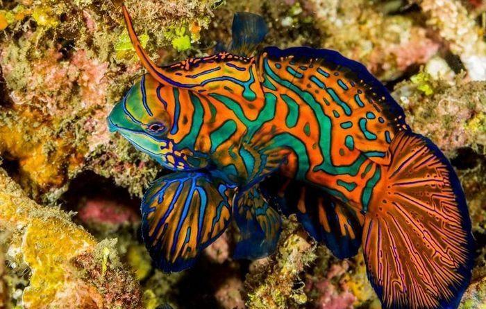 Рыба мандаринка – обладательница разноцветной чешуи, любительница аквариумистов во всем мире