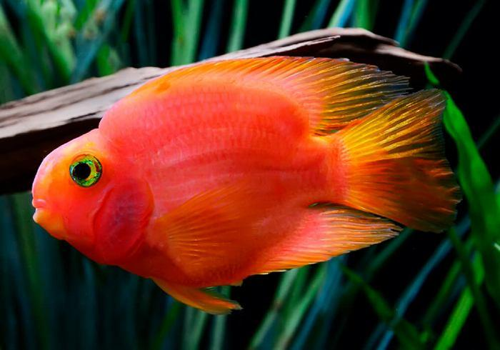 Рыба попугай – искусственно полученный гибрид, которого не встретишь в живой природе