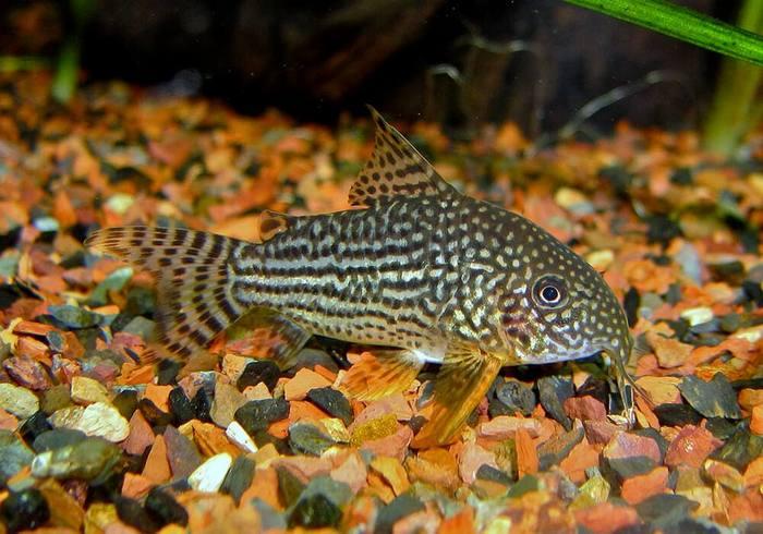 Рыбка имеет форму тела, типичную для коридорасов
