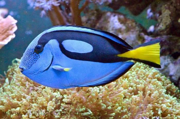 Рыбы хирурги обычно содержатся в рифовых морских аквариумах
