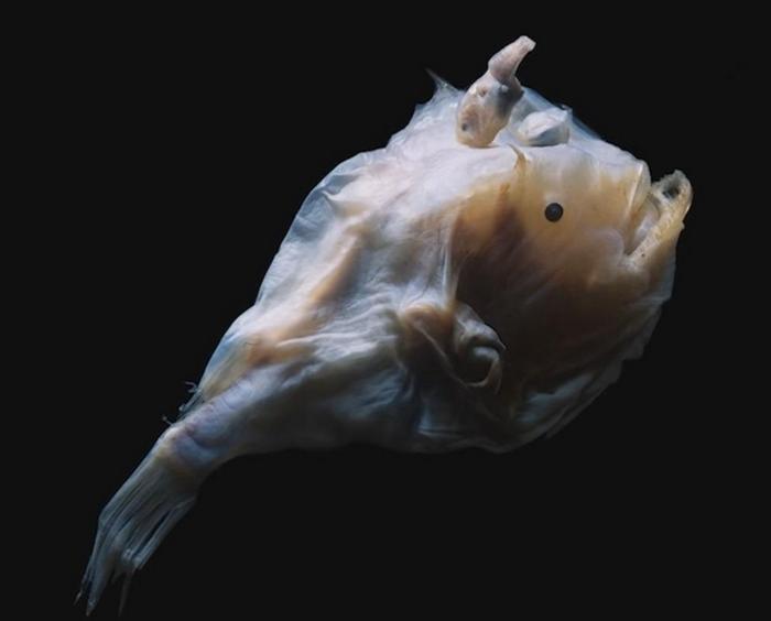 Рыбы-удильщики известны необычным способом спаривания