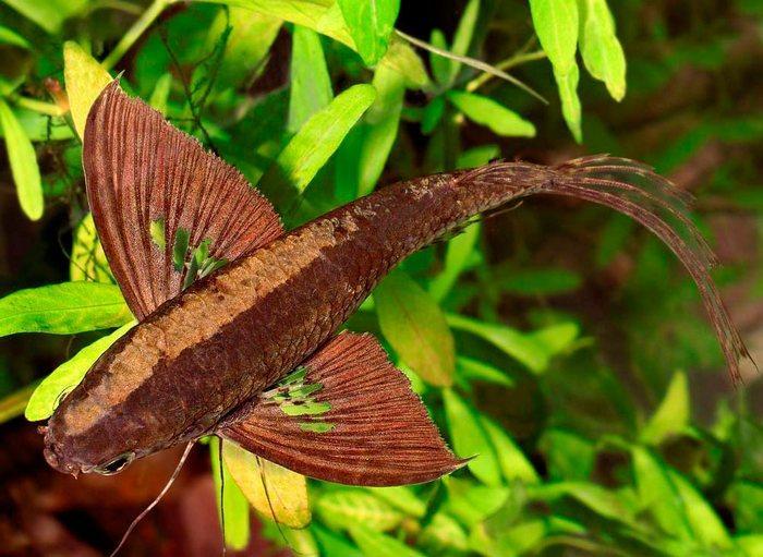 Широко расставленые плавники Пантодона похожи на крылья бабочки