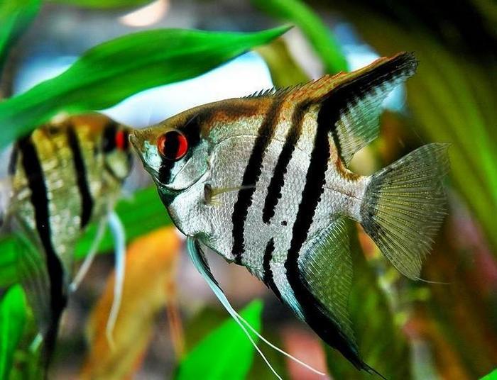 Скалярия — изящная аквариумная рыбка из семейства цихлид в форме диска