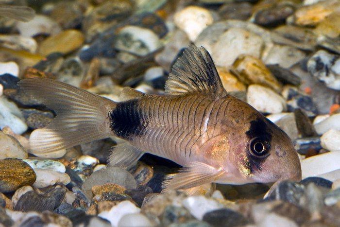 Сомики коридорасы — неутомимые труженики аквариума