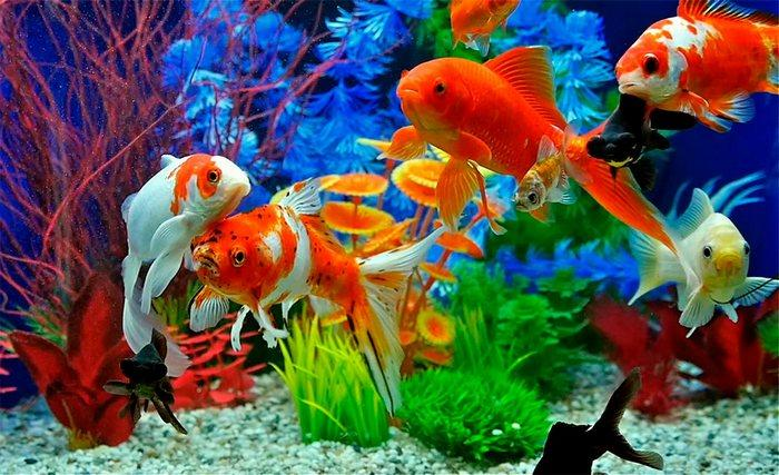 Среди золотых рыбок существуют подвиды, которые считаются долгожителями