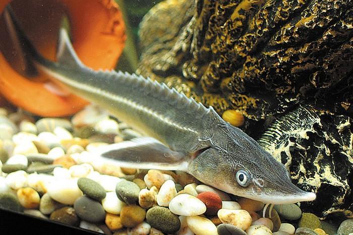 Стерлядь – одна из древнейших видов рыб