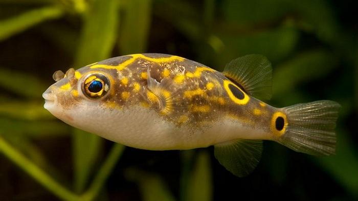 Тетрадон – близкий родственник рыбы-фугу