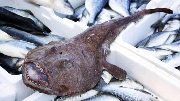 Удильщик является промысловой рыбой