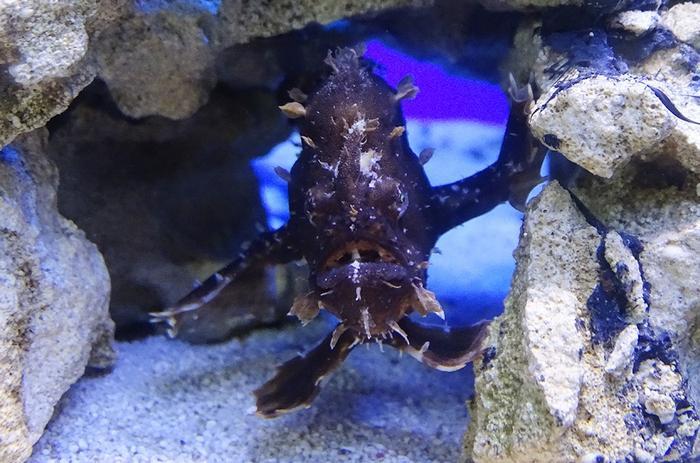 Удильщикам необходим видовой аквариум без других рыб и беспозвоночных