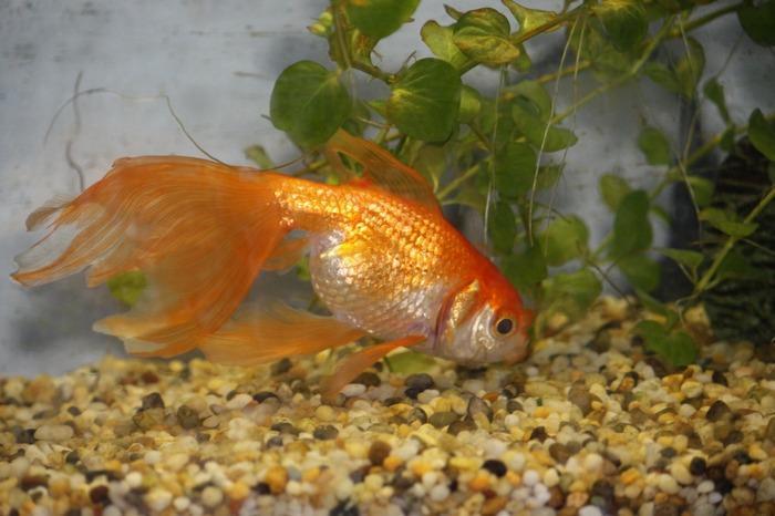Уход и содержание золотых рыбок освоит даже начинающий аквариумист