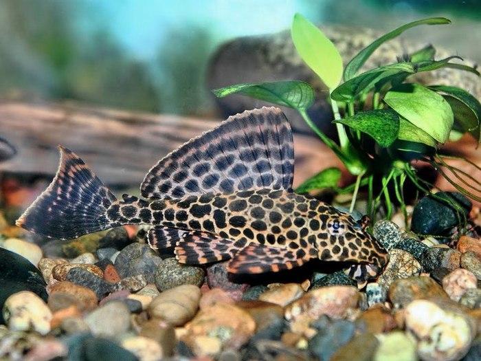 Узор на теле Птеригоплихта напоминает шкуру леопарда