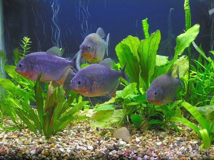 В аквариуме пираньи живут достаточно долго - около 10-12 лет