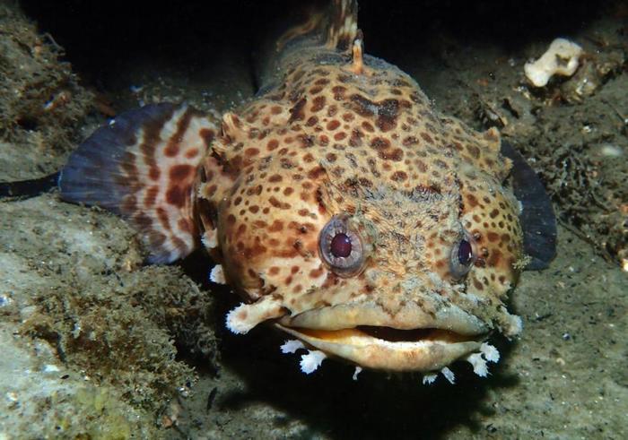 В домашних условиях рыбу-жабу устроит водоем размером от двухсот литров