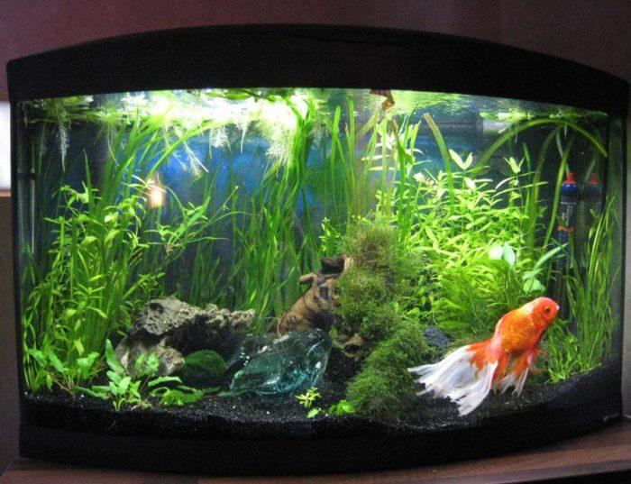 В идеале на одну золотую рыбку должно приходиться не менее 50 литров воды