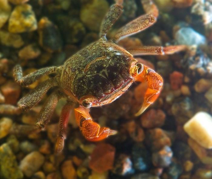 В природе красные мангровые крабы ведут одиночный образ жизни