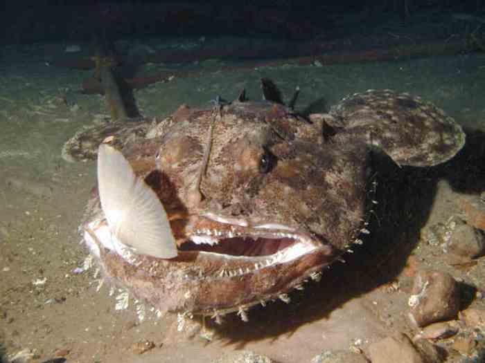 В рацион питания удильщиков входят различные виды рыб и головоногие моллюски
