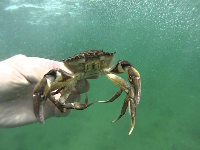 В условиях аквариума Черноморских крабов желательно кормить пищей животного происхождения