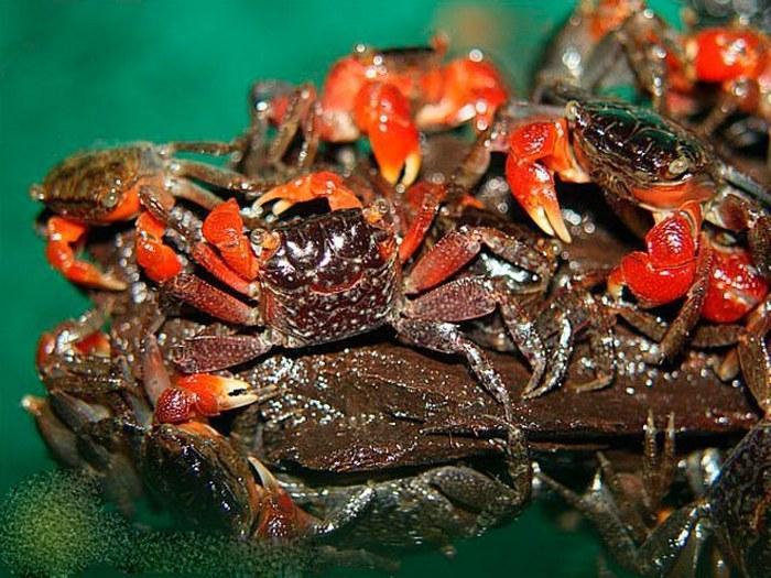 В условиях акватеррариума красные крабы не размножаются