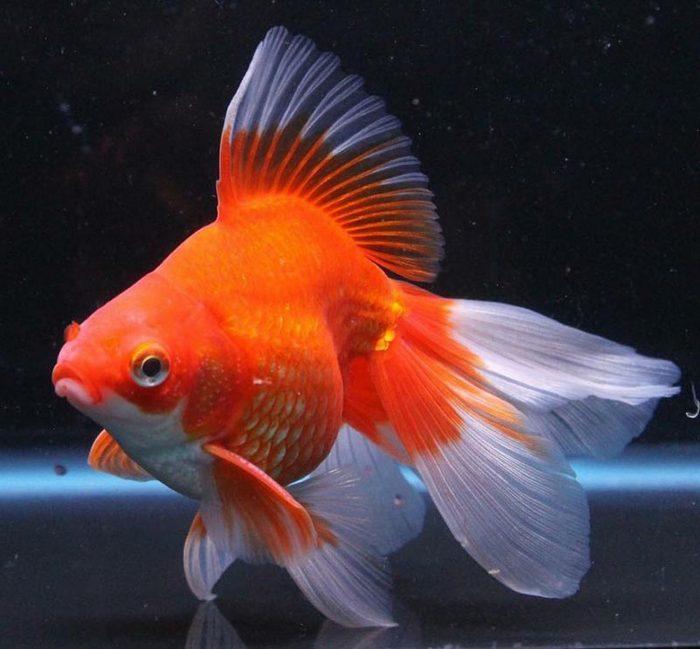 Веерохвост — один из самых округлых видов золотых рыбок