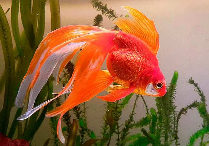 Век золотых рыбок зависит от условий их содержания и особенностей ухода