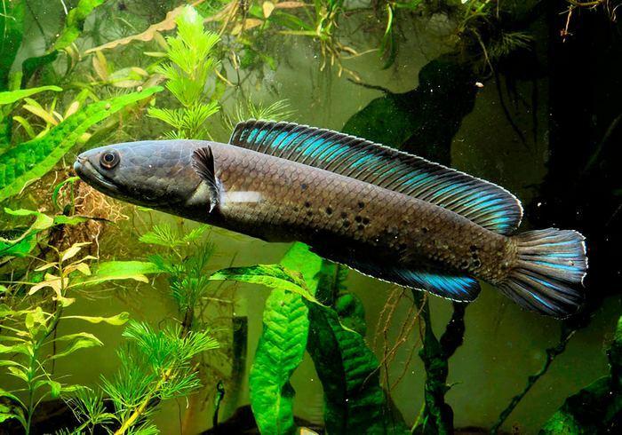 Внешне рыбка напоминает змею и отличается агрессивным поведением