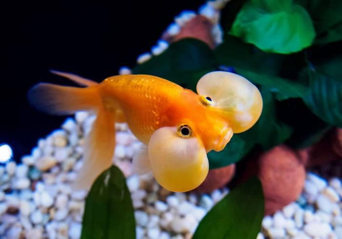 Водяные глазки - самая необычная среди всех Золотых рыбок