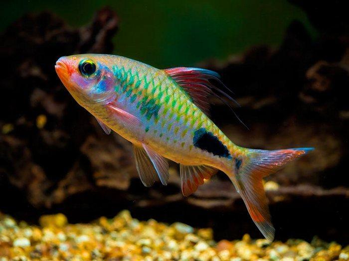 Восклицательный барбус - очень мирная стайная красивая рыбка