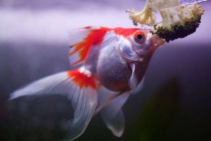 Вуалехвосты – всеядные рыбки