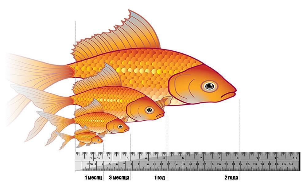 Взрослые особи более крупные и увесистые