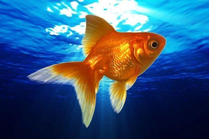 Золотая рыбка – это хладнокровное животное