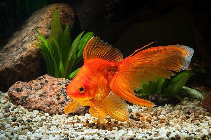 Золотая рыбка — это не сказочное существо, а аквариумная разновидность карася