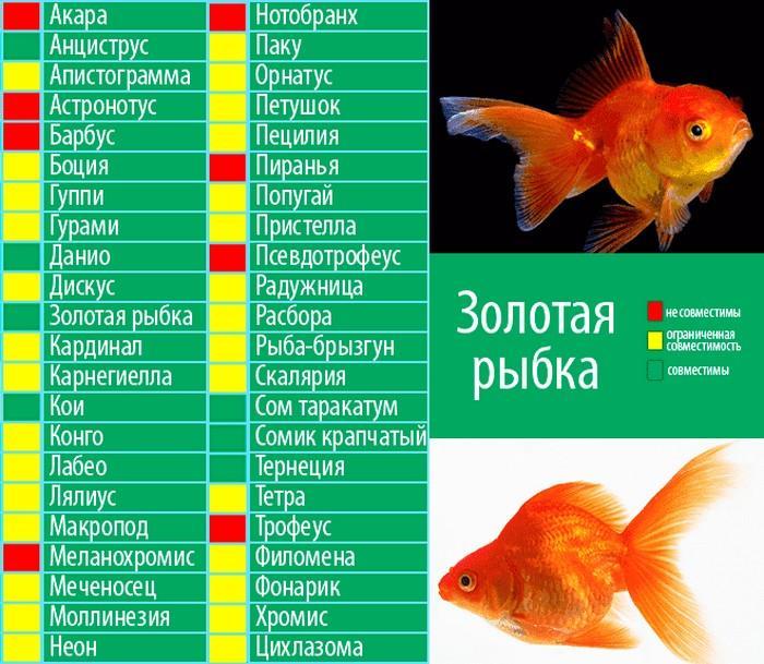 Золотые рыбки хорошо уживаются с небольшими рыбками мирного характера