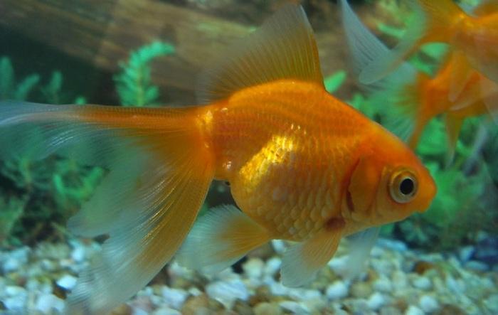 Золотые рыбки – популярные аквариумные обитатели