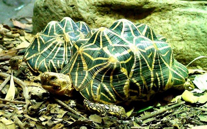 Черепаха Звездчатая