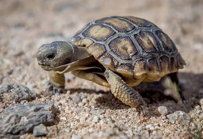 Черепахи считаются самыми древними пресноводными животными на земле