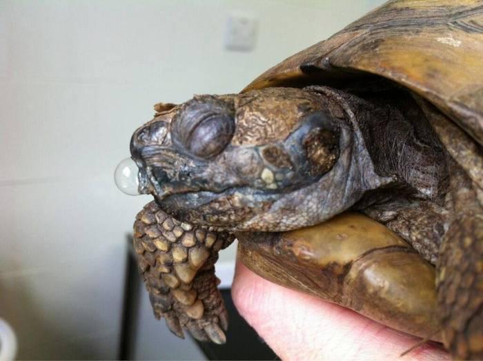 Домашние черепахи легко подвержены различным заболеваниям