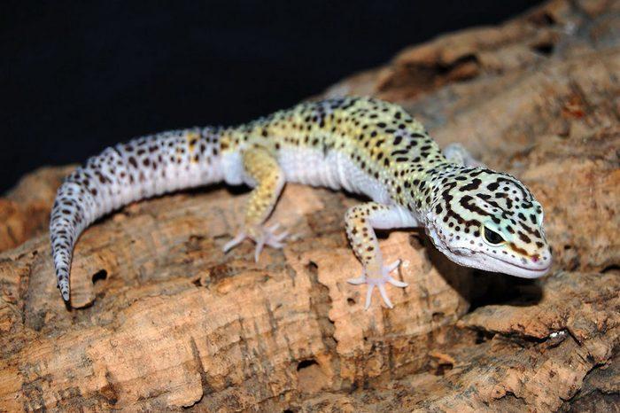 Эублефары считаются долгоживущими гекконами