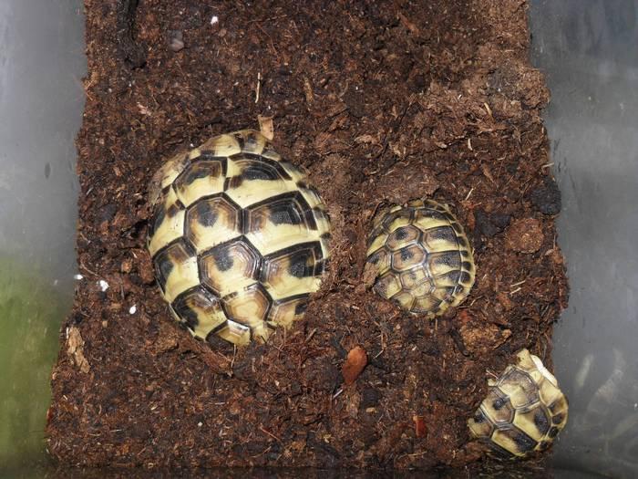 Готовясь к спячке черепаха пытается закопаться в грунт