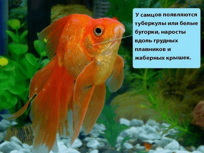 Именно во время нереста у Золотых рыб начинают проявляться первые половые признаки