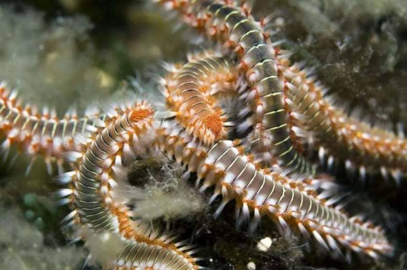 Иногда третьим сожителем становится многощетинковый черв, который поселяется внутри раковины