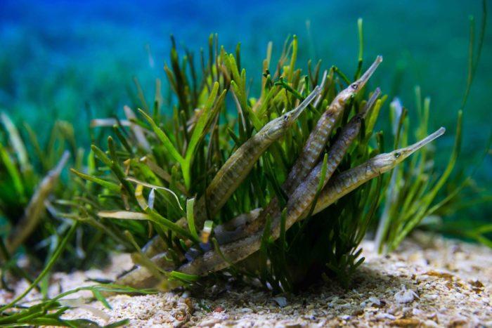 Начало периода нереста рыбы-иглы приходится на середину весны
