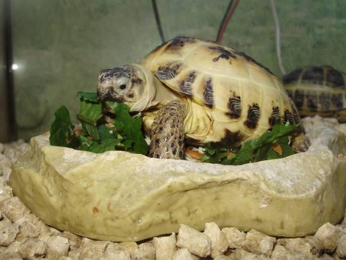 Основу рациона сухопутной черепахи составляют растительные корма