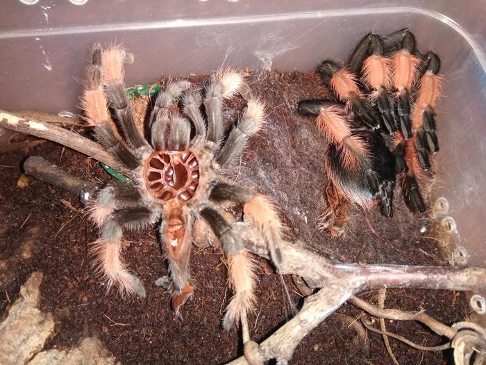 Период линьки – это крайне важный этап в жизни каждого паука птицееда